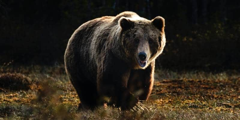 How to Avoid Bear Attack 1